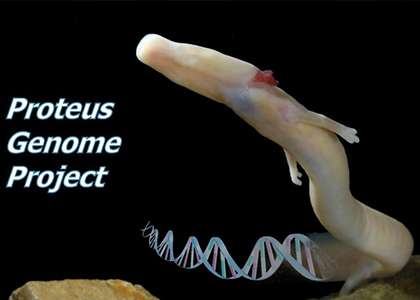 BGI and partners complete draft of the Proteus genome, one of the largest genomes ever sequenced
